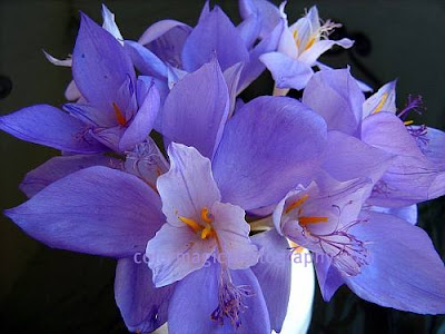 Autumn crocus bouquet