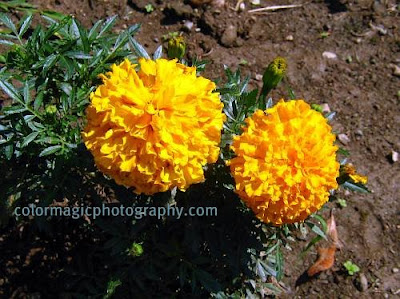 Bright yellow Marigold