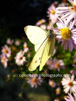 Green-veined white butterfly-Pieris napi