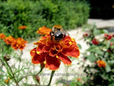Bee on a marigold