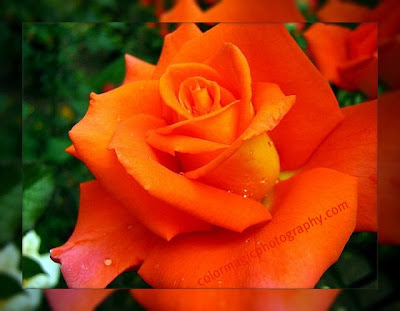 Red rose-macro photography