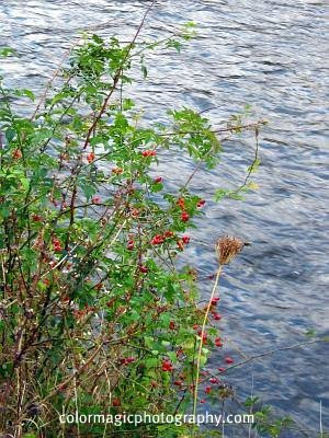 Rosehips near the river