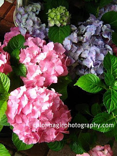 Hydrangea macrophylla-pink and blue