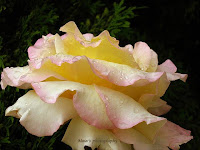 Raindrops on yellow rose