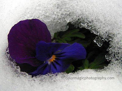 Pansies in the snow