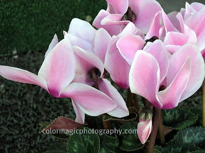 Light pink Cyclamen