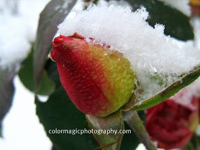 Rose bud in winter snow
