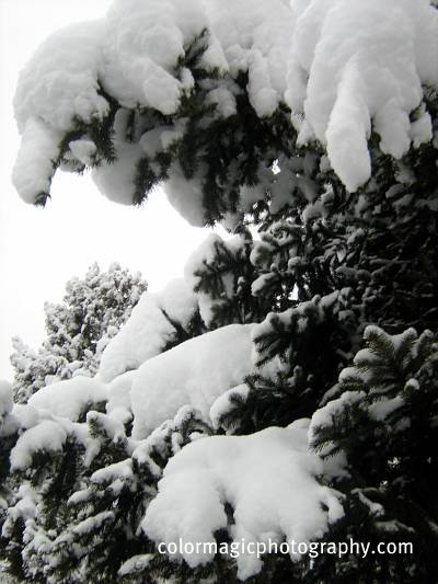 Pine tree branches under snow blanket