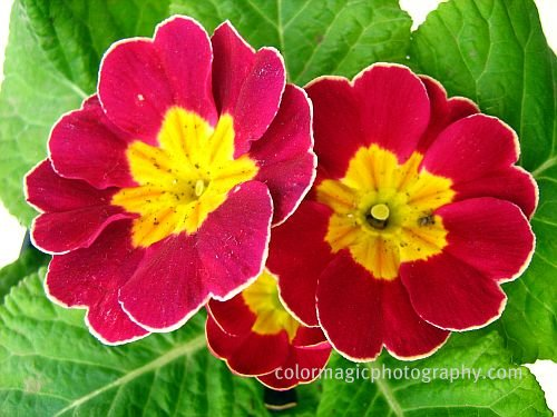Red primrose-primula picture