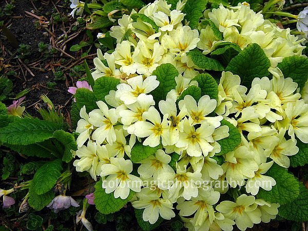 Primrose-Primula vulgaris photo