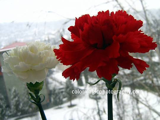 White and red carnation flowers against a snow covered background - closeup pictures