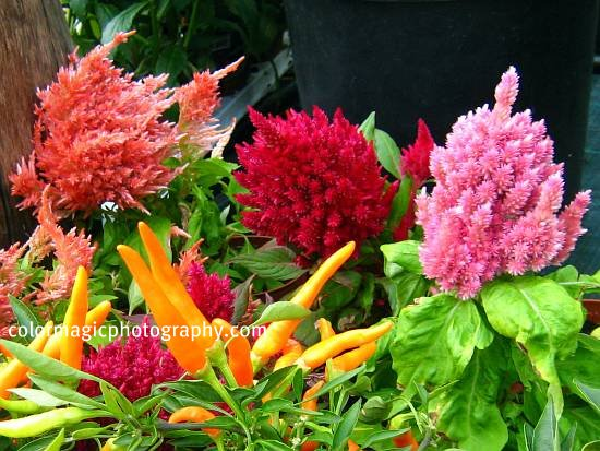 Celosia plumosa - Cockscomb flowers among hot chilly plants