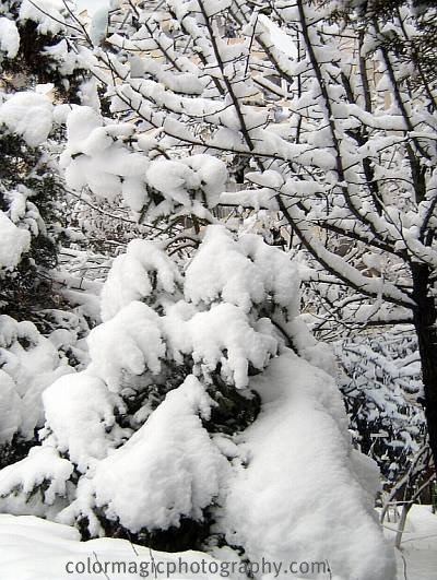Snow covered pine tree
