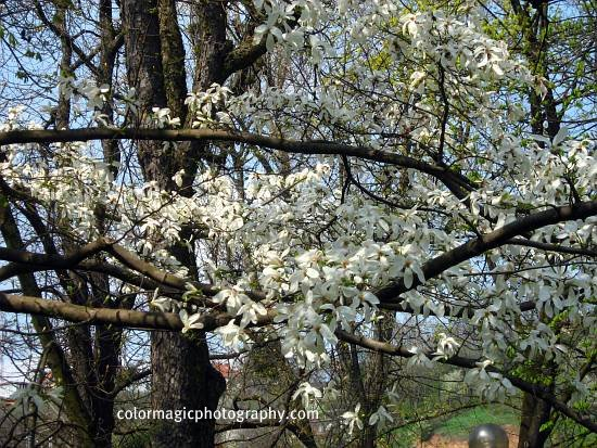 Star magnolia tree in blossom