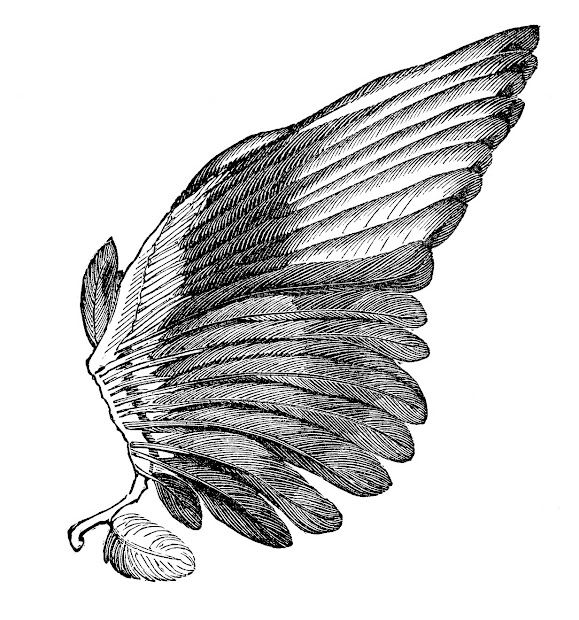 Feather Angel Wings Clip Art