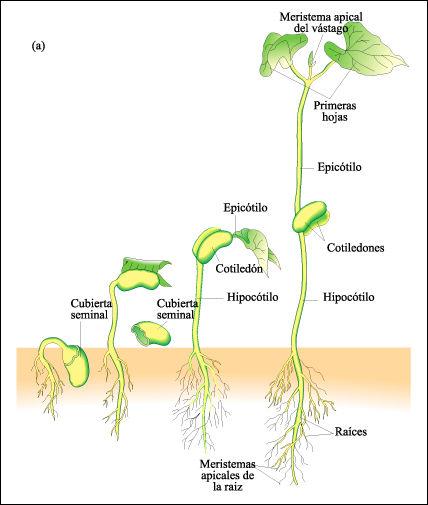 Resultado de imagen para proceso de germinacion de una semilla