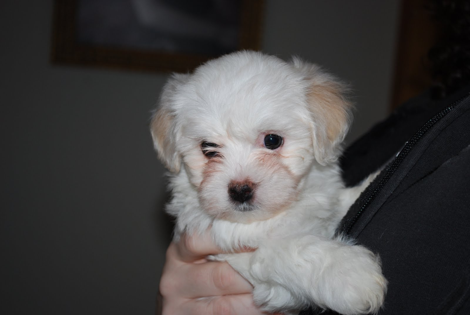 Havanese Puppies And Dogs Pictures Gallery - Pictures Of ...