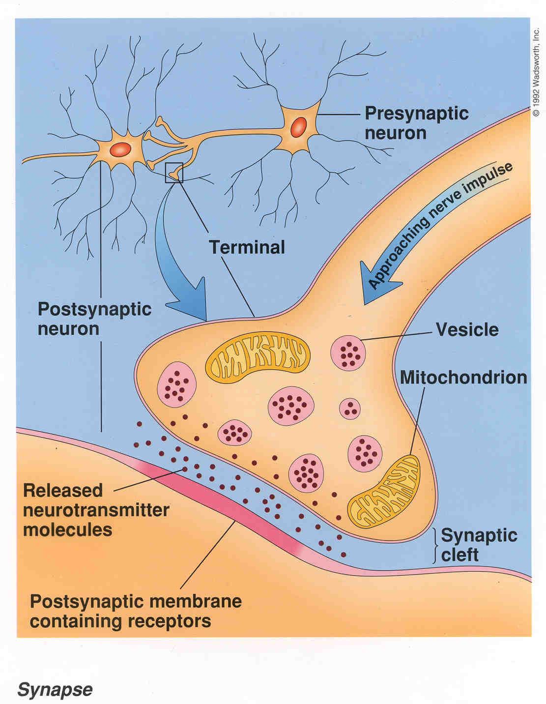 synapse diagram label pop up camper wiring nerve impulse free engine image for user