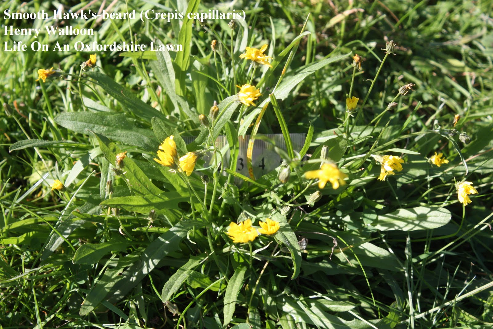 Life On An Oxfordshire Lawn: Smooth Hawks-beard Crepis ... - Crepis
