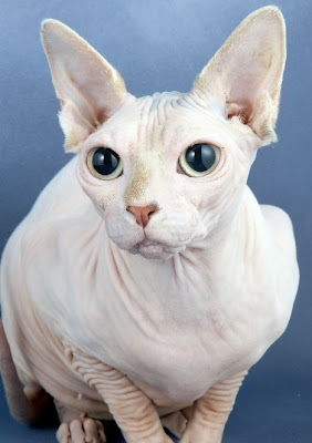 News Mail Year Of The Sphynx The Hairless Marmite Cats