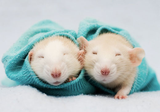Something Amazing Sweetest Cutest Rats Photos By Jessica