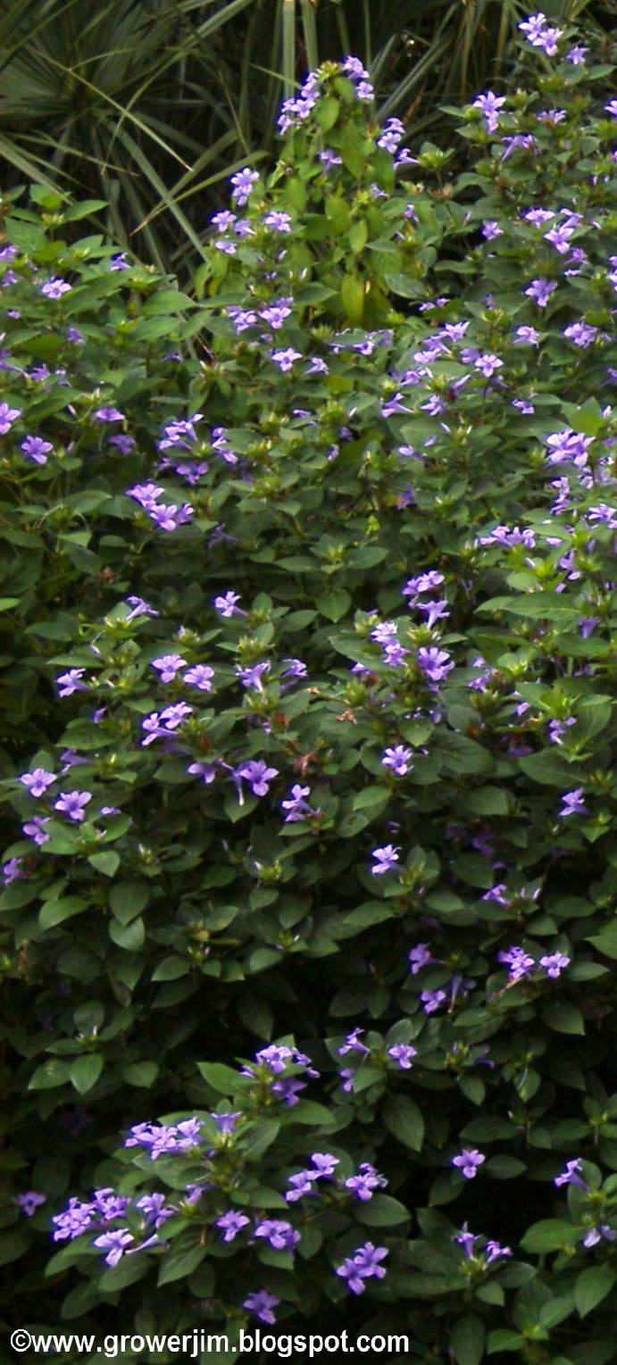 Garden adventures barleria cristata philippine violet there is also a white flowered variety and i used to have a pink one too but it died out one winter flowering will be best in full sun mightylinksfo