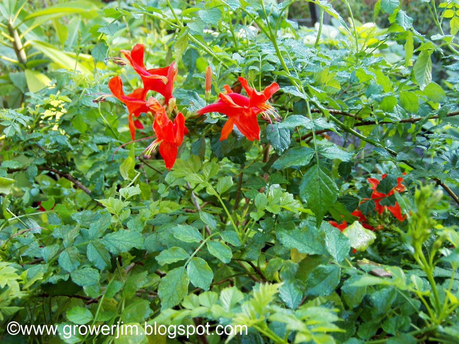 Garden Adventures Tecomaria Capensis Cape Honeysuckle