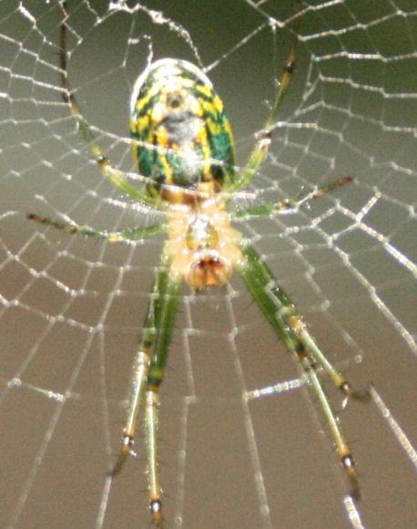 The Öko Box: Bright Green & Yellow Metallic Spider