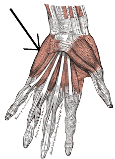 Hand_muscles
