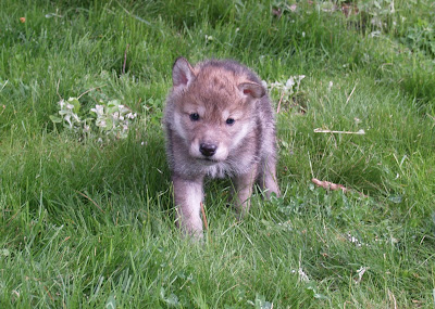 POTH's Western Wolf Dogs: Our Current Puppies for Sale