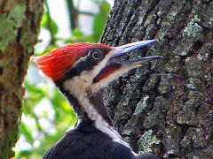 Pileated Power!
