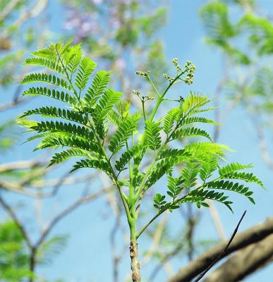 Tree Identification: Jacaranda mimosifolia - Jacaranda