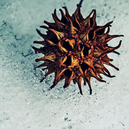 Tree Identification: Liquidambar styraciflua - Sweet Gum