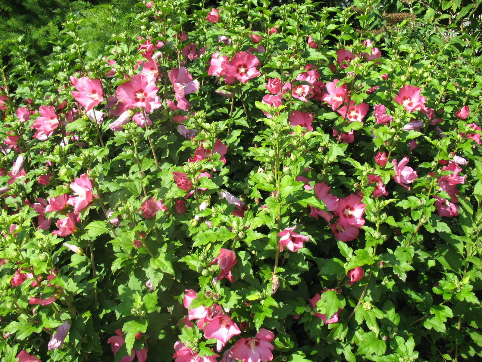 Roses du jardin ch neland hibiscus syriacus pink giant - Hibiscus de jardin persistant ...