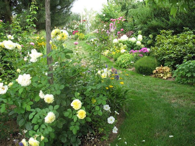 roses du jardin ch neland rosier the pilgrim. Black Bedroom Furniture Sets. Home Design Ideas