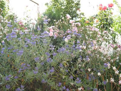 roses du jardin ch neland caryopt ris worcester gold. Black Bedroom Furniture Sets. Home Design Ideas