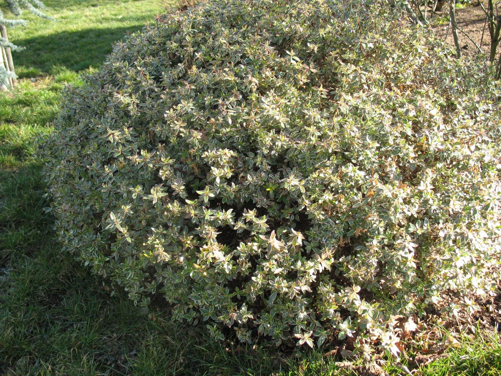 Roses du jardin ch neland sous le soleil d 39 hiver - Arbuste persistant soleil ...
