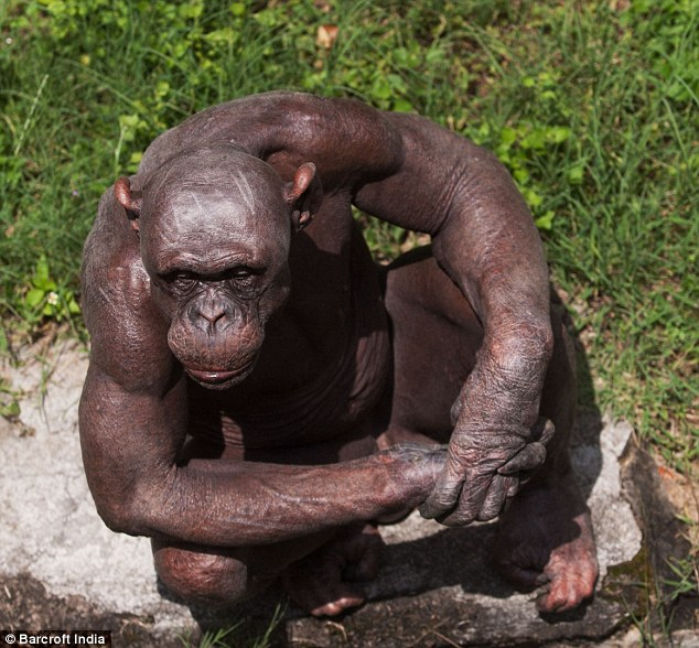 Pic Of A Hairless Chimpanzee Convinces Me I Would Lose In