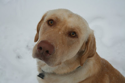 yellow lab with blue eyes MEMES