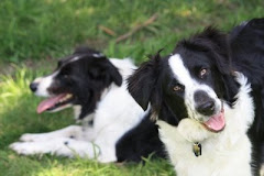 Two Crazy Border Collies
