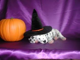 Cute Baby Stylish Wallpaper Halloween Dog Wallpapers Halloween White Dogs Halloween