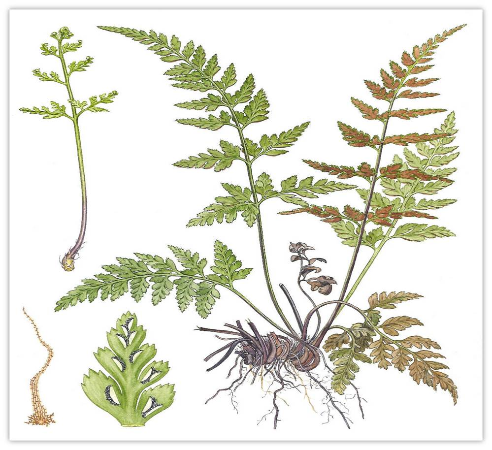 Ciri Ciri Tumbuhan Higrofit Ciri Ciri Tumbuhan Paku Pteridophyta Sridianti Dunianya Sari Kingdom Plantae Dunia Tumbuhan Part 1