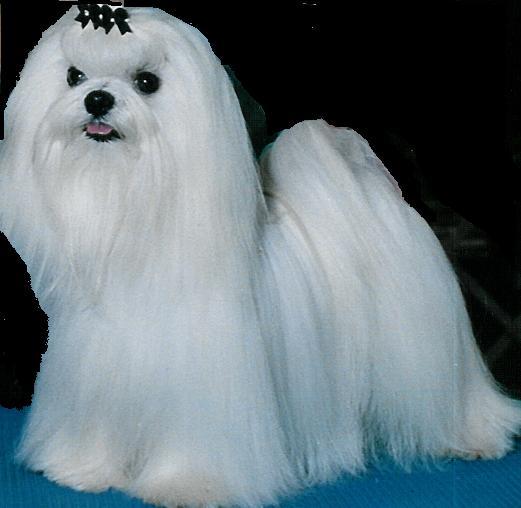 biiyah: Maltese Dogs