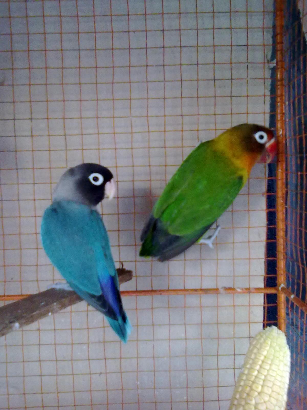 Lovebird biru - photo#29