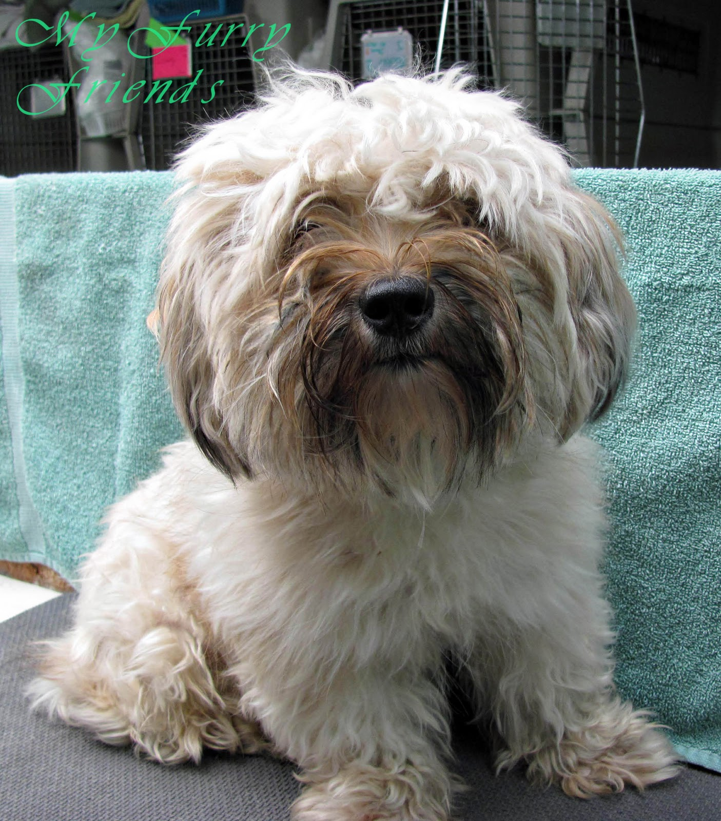 pet grooming: the good, the bad, & the furry: matted dogs