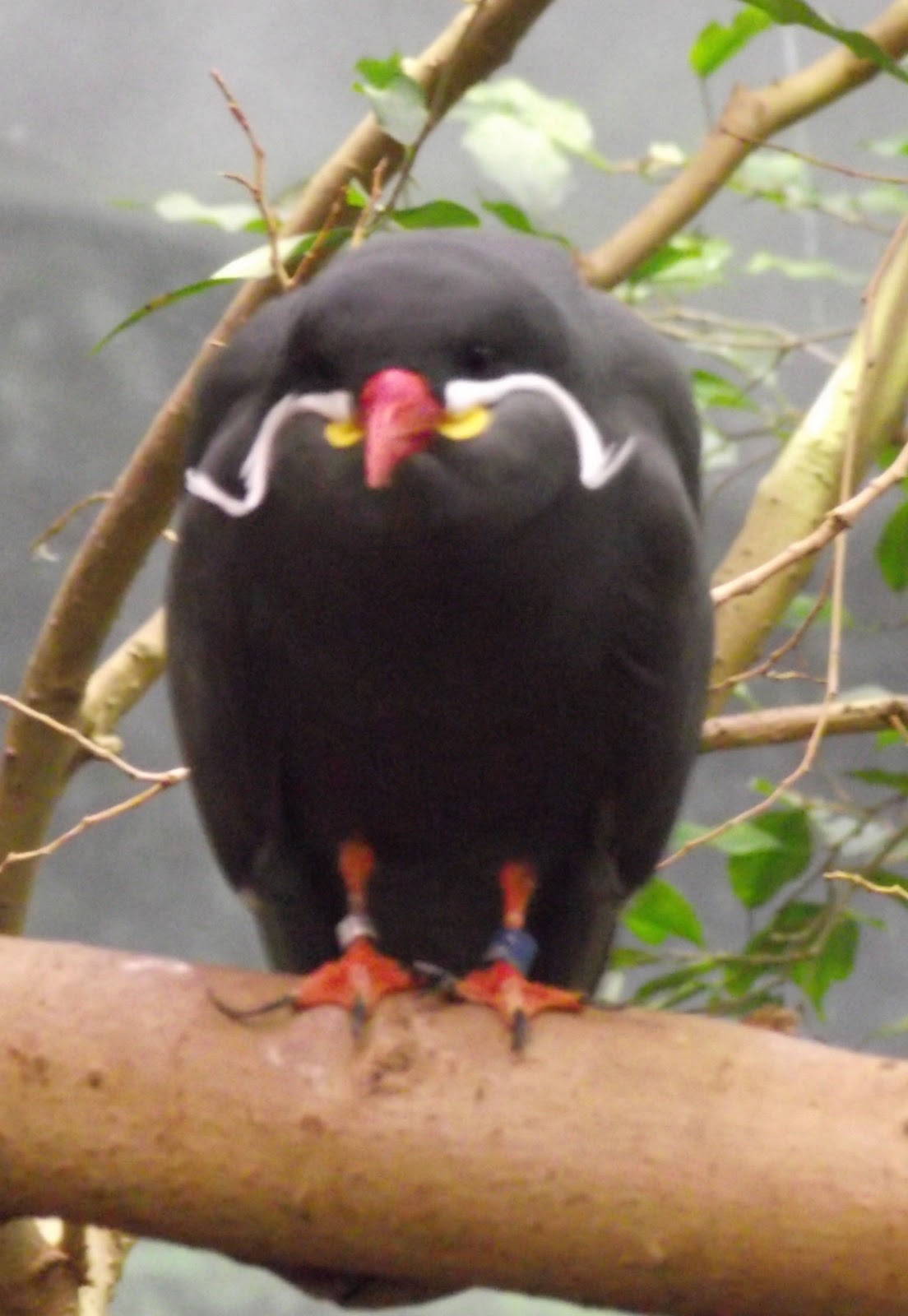 Animal A Day!: Inca Tern