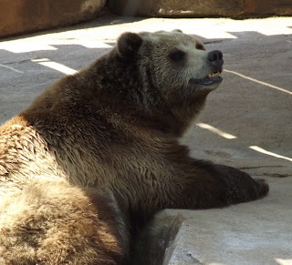 Animal A Day Grizzly Bear