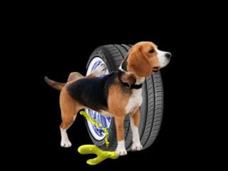Por qué los perros orinan en las ruedas