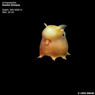 Grimpoteuthis Dumbo octopus