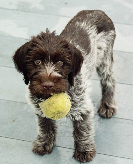 Wirehaired Pointing Griffon - Korthals Griffon ~ Dog ...